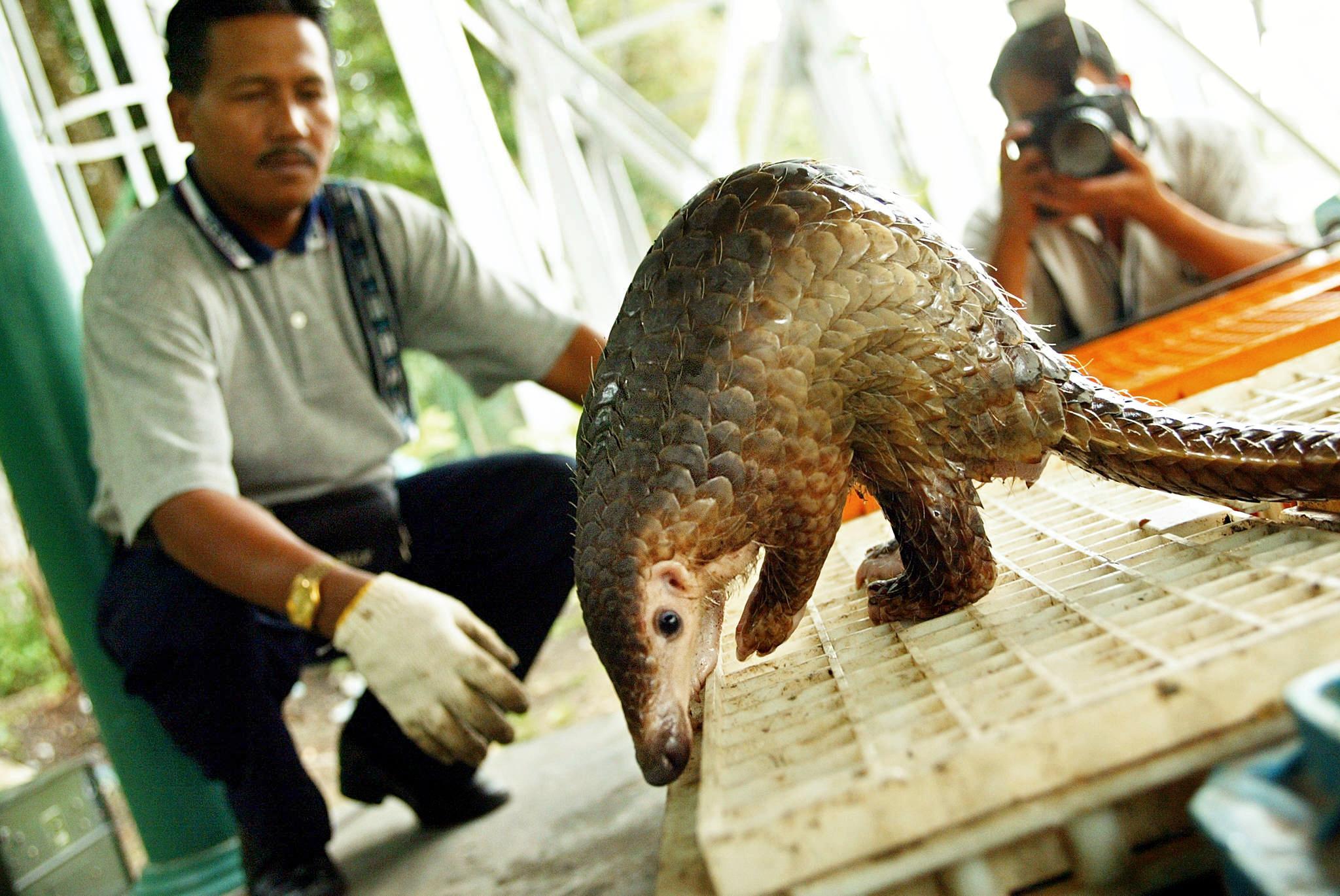 Du Gabon au Vietnam, le pangolin chassé jusqu'à l'extinction