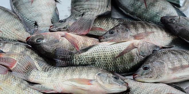 Le poisson Tilapia interdit de consommation en RDC